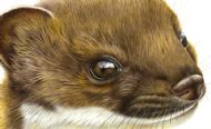 Stoat Stare